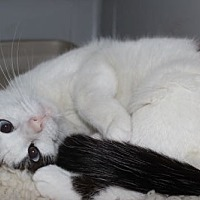 Snowshoe Cat for adoption in Louisville, Kentucky - Lexi