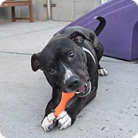 American Pit Bull Terrier Mix Dog for adoption in Brooklyn, New York - ROCKY