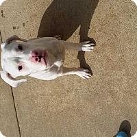 Adopt A Pet :: Moo - Albany, GA