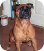 Bullmastiff Dog for adoption in Oviedo, Florida - Chester