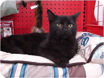 Domestic Mediumhair Cat for adoption in Sterling Hgts, Michigan - Tom (super personality)