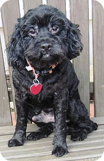 Poodle (Miniature)/Cocker Spaniel Mix Dog for adoption in Plainfield, Connecticut - Dusty