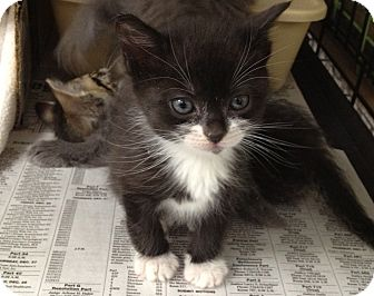 Domestic Shorthair Kitten for adoption in Island Park, New York - Grape & Orange