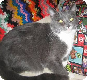 Domestic Shorthair Cat for adoption in Phoenix, Arizona - Munchkin