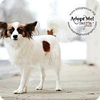 Adopt A Pet :: Moose Moose - Shawnee Mission, KS