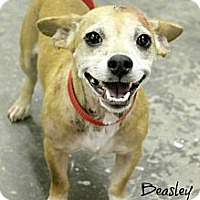 Adopt A Pet :: Beasley - Phoenix, AZ