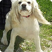 Adopt A Pet :: Sugar - Menomonee Falls, WI