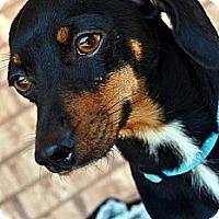 Adopt A Pet :: Sherlock-Adoption pending - Bridgeton, MO