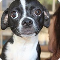 Adopt A Pet :: Lilly - Van Nuys, CA
