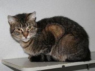 Domestic Shorthair Cat for adoption in Marietta, Georgia - Raglan