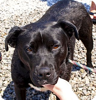 Staffordshire Bull Terrier/American Staffordshire Terrier Mix Dog for adoption in Tanner, Alabama - Bethany