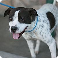 Adopt A Pet :: Gidget - Canoga Park, CA