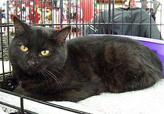 Domestic Shorthair Cat for adoption in Ferndale, Michigan - Maris