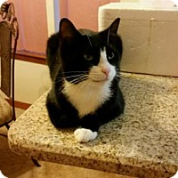 Domestic Shorthair Cat for adoption in Crestview, Florida - Jasmine