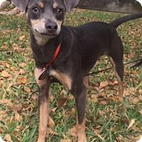 Adopt A Pet :: Miso - Davie, FL