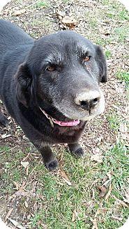 Labrador Retriever/Flat-Coated Retriever Mix Dog for adoption in Hagerstown, Maryland - Sheba - Senior Special!