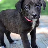 Adopt A Pet :: Sophia - Waldorf, MD