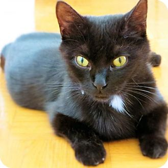 Domestic Shorthair Cat for adoption in Mississauga, Ontario, Ontario - Geri