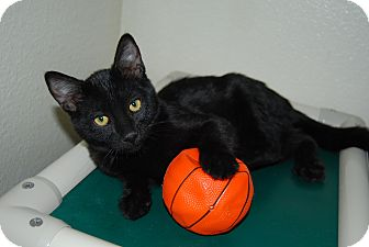 Domestic Shorthair Cat for adoption in Ridgway, Colorado - Montana