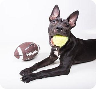 American Pit Bull Terrier Mix Puppy for adoption in Decatur, Georgia - Bibi