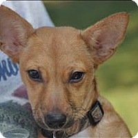 Chihuahua/Terrier (Unknown Type, Small) Mix Puppy for adoption in Osage Beach, Missouri - Earl