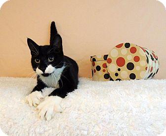 Domestic Shorthair Cat for adoption in Roanoke, Texas - Elsie