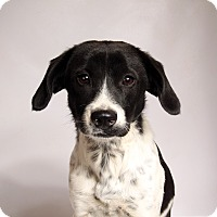 Adopt A Pet :: Holly BeagleMix - St. Louis, MO
