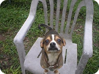 Chihuahua Mix Dog for adoption in Jacksonville, Florida - lil bit