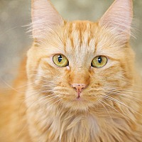 Domestic Mediumhair Cat for adoption in North Hollywood, California - Kennedy