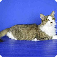 Domestic Mediumhair Cat for adoption in Norman, Oklahoma - A026624