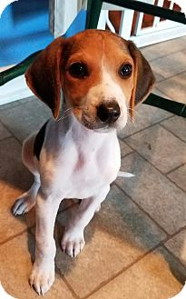 Hound (Unknown Type) Mix Puppy for adoption in Richmond, Virginia - Cupcake