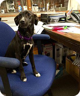 Retriever (Unknown Type) Mix Dog for adoption in Hopkinton, Massachusetts - Kaitlyn
