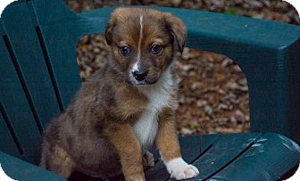 Australian Shepherd Mix Puppy for adoption in Hainesville, Illinois - Butler