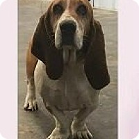 Adopt A Pet :: Lucy - Springdale, AR