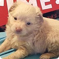 Adopt A Pet :: Kibbles - Vacaville, CA