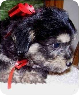 N.c. Pekingese Rescue Gisella | Adopted Pupp...