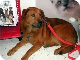 Dog Ready For Adoption Golden Retriever Border Collie Mixed Dog | Dog ...