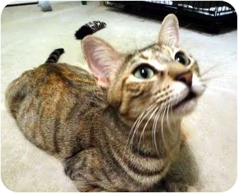 Domestic Shorthair Cat for adoption in Hurst, Texas - Crystal