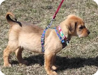 Labrador Retriever/Airedale Terrier Mix Puppy for adoption in Mt. Prospect, Illinois - Quartz