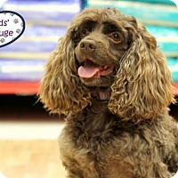 Adopt A Pet :: Buster Brown - Lee's Summit, MO