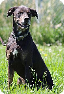 Catahoula Leopard Dog Mix Dog for adoption in High River, Alberta - Bailey