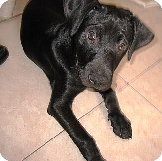 Labrador Retriever/Labrador Retriever Mix Puppy for adoption in Hollywood, Florida - BETTY