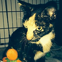 Calico Cat for adoption in Chattanooga, Tennessee - Kanga