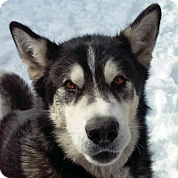 Adopt A Pet :: NANOOK-Adoption Pending - Boise, ID