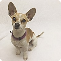 Adopt A Pet :: Sawyer - Mission Viejo, CA