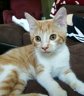 Domestic Shorthair Cat for adoption in Dickson, Tennessee - LIESEL