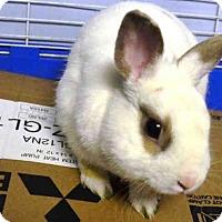 Adopt A Pet :: BON BON - Brooklyn, NY