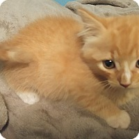 Domestic Mediumhair Kitten for adoption in Bryson City, North Carolina - Boo
