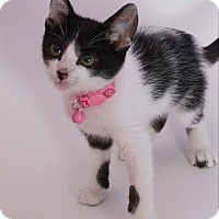 Domestic Shorthair Cat for adoption in Baton Rouge, Louisiana - Lolly