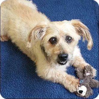 Dachshund/Standard Schnauzer Mix Dog for adoption in Shreveport, Louisiana - Polie